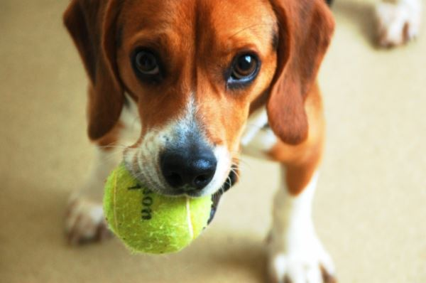 Beagle Holding a Ball