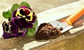 Purple and yellow pansies beside orange trowel filled with soil.