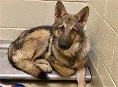 Photo of hybrid wolf-dog