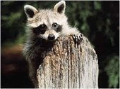 Photo of raccoon