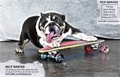 Photo of bulldog on a skateboard