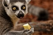 Close-up shot of a cute lemur holding/eating fruit and looking at the camera.