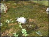 Hydrilla photo in Eno River