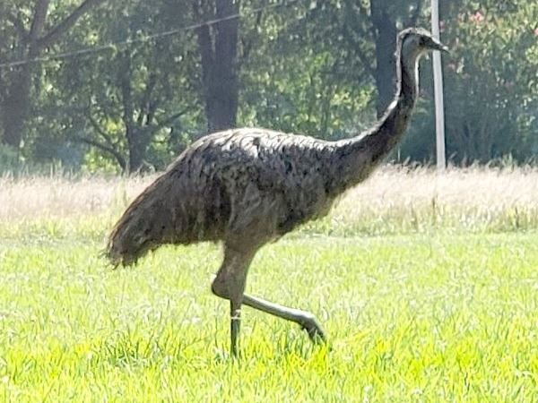 Photo of the loose emu